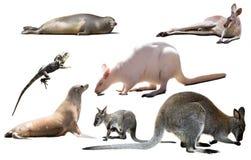 Изолированные животные Австралии Стоковые Фотографии RF