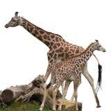Изолированные жирафы Стоковое фото RF
