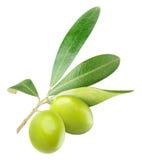 Изолированные зеленые оливки на ветви Стоковые Изображения RF