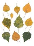 Изолированные листья березы Стоковые Фото