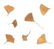 Изолированные листья дерева осени на пустой предпосылке Стоковые Фото