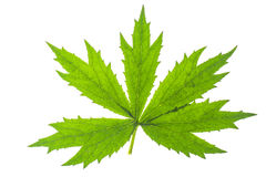 Изолированные листья зеленого цвета завода сада изолированный на белом backgrou Стоковая Фотография