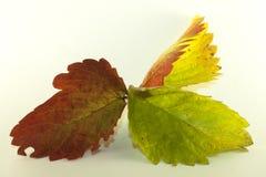 Изолированные листья клубники в осени стоковые изображения rf