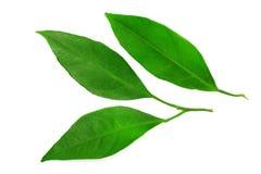 Изолированные листья мандарина Стоковые Изображения RF