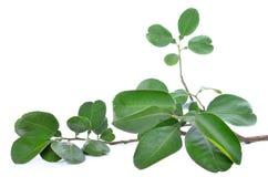 Изолированные листья помела Стоковое фото RF