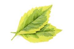 изолированные листья Стоковое фото RF
