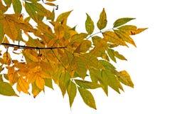 Изолированные листья Стоковое Изображение RF