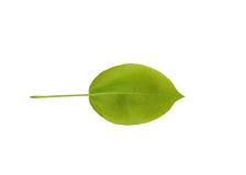 Изолированные лист груши Стоковые Изображения
