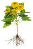 Изолированные корни солнцецветов Стоковые Изображения