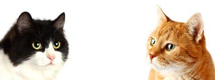 Изолированные коты намордника 2 взрослые, Стоковые Фото