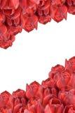 изолированные красные тюльпаны вертикально Стоковые Изображения