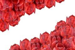изолированные красные тюльпаны горизонтально Стоковое Изображение