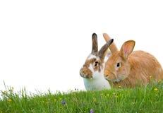Изолированные кролики Стоковые Изображения