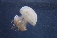 Изолированные медузы Стоковое фото RF