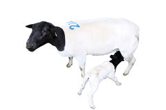 Изолированные овцы с овечкой ухода Стоковая Фотография RF