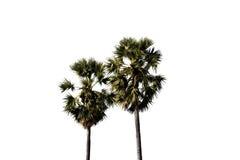 Изолированные пальмы сахара стоковые фото