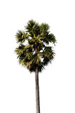 Изолированные пальмы сахара Стоковая Фотография RF