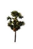 Изолированные пальмы сахара стоковые фотографии rf