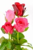 Изолированные пинк и красные розы Стоковая Фотография
