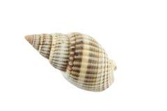Изолированные раковины моря. Стоковые Фотографии RF