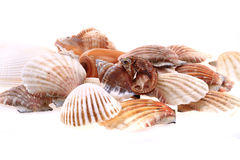 изолированные раковины моря Стоковое Изображение RF