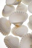 изолированные раковины Стоковая Фотография RF