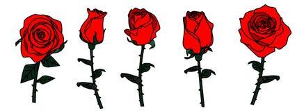 изолированные розы Стоковая Фотография RF