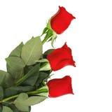 изолированные розы Стоковые Изображения