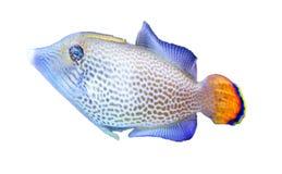Изолированные рыбы аквариума, Стоковые Изображения RF