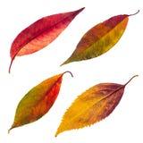 Изолированные установленные листья осени Стоковая Фотография