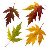 Изолированные установленные листья осени Стоковое Изображение RF