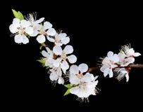 Изолированные цветки абрикоса стоковые фотографии rf