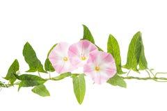 Изолированные цветки вьюнка Стоковое Фото