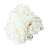 Изолированные цветки пиона Стоковая Фотография