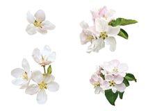 Изолированные цветки яблони Стоковое Фото