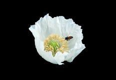 Изолированные цветок и пчела Стоковые Изображения