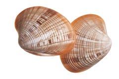 Изолированные seashells Стоковые Изображения RF