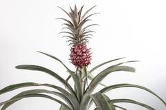Изолированный ананас Стоковое фото RF