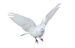 Изолированный белый голубь летая Стоковые Изображения RF