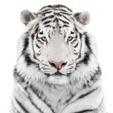 Изолированный белый тигр Стоковые Фотографии RF