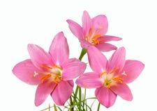 Изолированный букет розового первоцвета Стоковое фото RF