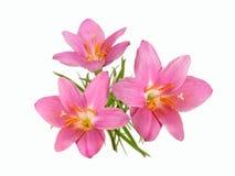 Изолированный букет розового первоцвета Стоковое Изображение
