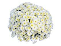 Изолированный букет хризантемы Стоковые Изображения