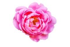 Изолированный бутон розы пинка Стоковое Изображение