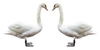 Изолированный взгляд со стороны лебедя птицы белый Стоковое фото RF