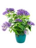 Изолированный в горшке purpled цветок heliotrope сада Стоковые Фотографии RF