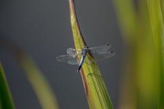 Изолированный голубой dragonfly Стоковые Фото
