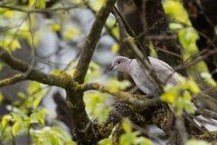 Изолированный голубь черепахи пока прячущ на дереве Стоковое фото RF