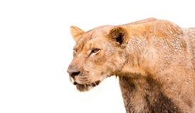 Изолированный лев Стоковые Фотографии RF