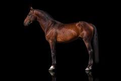 Изолированный жеребец лошади Стоковое Изображение